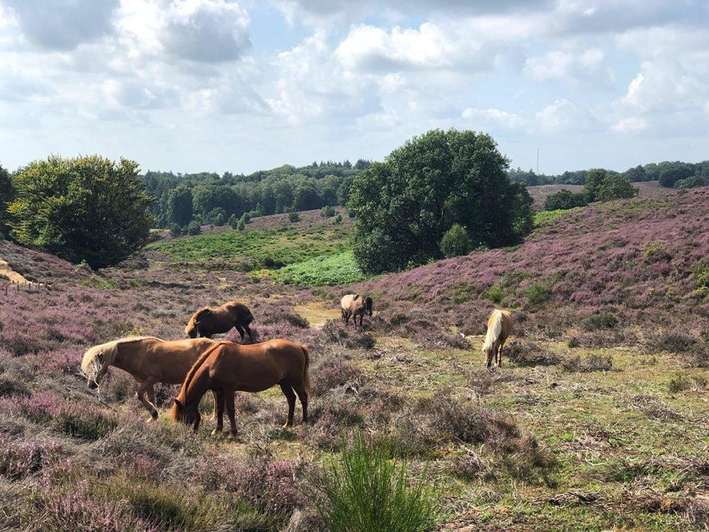 Bloeiende paarse heide op de Veluwe bij de Posbank