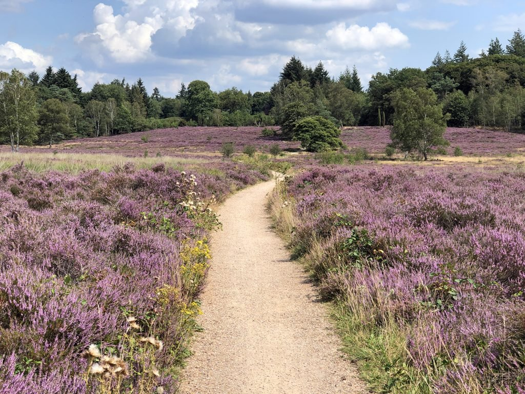 wandelen in Arnhem paarse heide op de veluwe